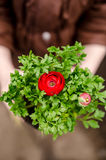 Red ranunculus Royalty Free Stock Photos