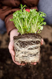 Red ranunculus roots. Red persian buttercup invading roots in child hands stock images