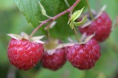 Red raspberries Royalty Free Stock Photos