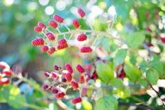 Red Raspberries Stock Photo