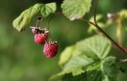 Red raspberries berries on a branch. On a green backgroundnn stock photo