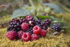 Red raspberries and blackberries on moss Royalty Free Stock Photos