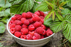 Red raspberries in bowl, with green leaves Stock Image