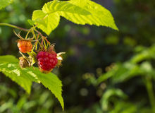 Red raspberries on a branch, in green leaves. Place for text, film effect.  Stock Photos