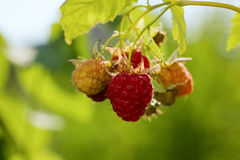 Red raspberries on a branch, in green leaves. Place for text, film effect Royalty Free Stock Photos
