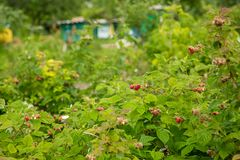 Red raspberries on a bush in the garden. Organic berries Stock Photography