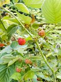 Red raspberries on a bush in the garden.  Stock Photo