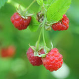 Red raspberries. Closeup Royalty Free Stock Image
