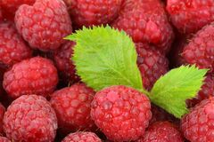 Red Raspberries With Green Leaves Royalty Free Stock Images