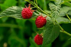 Red raspberries on green leaves background Stock Photos