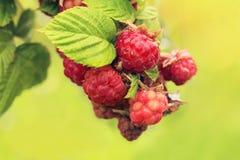 Red raspberries growing Stock Image