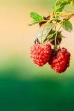 Red Raspberries. Growing Organic Berries Closeup. Ripe Raspberry Stock Photography