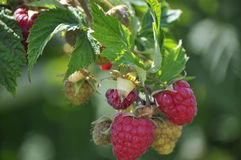 Red Raspberries Ripening Stock Image