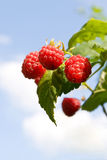 Red raspberries ripening with green leaves Royalty Free Stock Photography