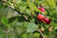 Red Raspberries in the Summer Wood Royalty Free Stock Photography