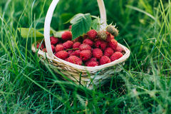 Red raspberries in a wooden basket. Red forest raspberries in a wooden basket Stock Image