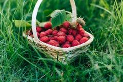 Red raspberries in a wooden basket in garden. Red forest raspberries in a wooden basket in garden Stock Images