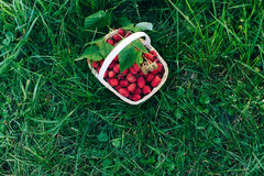 Red raspberries in a wooden basket in garden. Red forest raspberries in a wooden basket in garden Royalty Free Stock Images