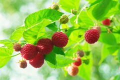 Red raspberry. Stock Photos