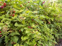..red raspberry berries hang on the branches. raspberry plantation raspberry bush with berry stock photography