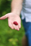 Red raspberry. Berries red raspberries on his palm Royalty Free Stock Image