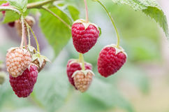 Red raspberry of berries ripening Royalty Free Stock Images