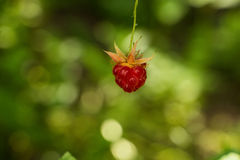 Red raspberry on branch, at green background. Place for text, film effect Stock Image