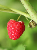 Red raspberry on the bush. Stock Image