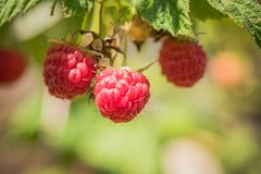 Red raspberry close up. On green blur background Royalty Free Stock Images