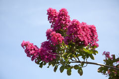 Red Raspberry Crepe Myrtle. Branch against blue sky. Horizontal Royalty Free Stock Images