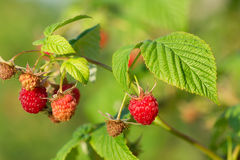 Red raspberry. Red raspberry in the garden Stock Images