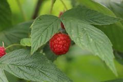 Red raspberry green leaf red fruit sauvage wildlife