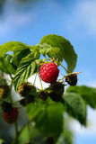Red raspberry growing in natural environment close-up. Shallow DOF royalty free stock image