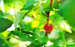 Red raspberry Royalty Free Stock Photography