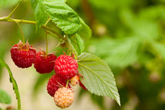 Red raspberry Stock Images