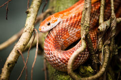 Red rat snake. In capture Stock Photos
