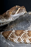 Red rattlesnake Royalty Free Stock Photos
