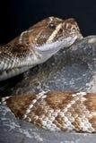 Red rattlesnake Royalty Free Stock Photos