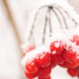 Red rawanberry in winter. Red rowanberry under the snow in frosty day Stock Photography