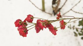 Red Raze Flower in Snow. Background Royalty Free Stock Image