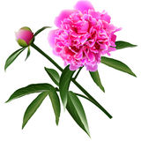Red realistic paeonia flower with leaves and bud Royalty Free Stock Images