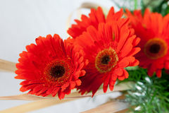 Red red daisy flowers Royalty Free Stock Photography