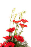 Red red daisy flowers Royalty Free Stock Image