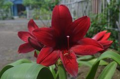 The red and red lilies that are very strong make eyes amaze and leaf green royalty free stock photography