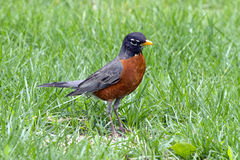 Red, Red Robin in the Grass. The American robin (Turdus migratorius) is a migratory songbird of the thrush family. It is named after the European robin because Stock Photo