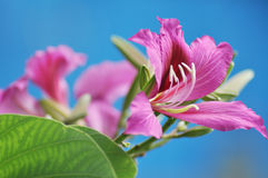 Red redbud in blue sky Stock Photos