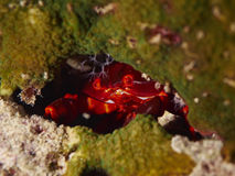 Red reef crab Stock Photo