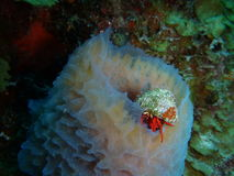 Red Reef Hermit Crab on a Tube Sponge Royalty Free Stock Images