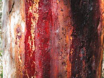 Red resin on eucalyptus tree bark Royalty Free Stock Photos