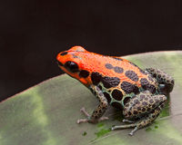 Red reticulated poison arrow frog. Or dart frog Ranitomeya reticulata a poisonous small animal from the Amazon jungle of Peru Stock Image